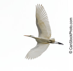 Great Egret, Ardea alba, in flight from underside of wings with white or gray sky background