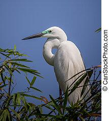 Great Egret ( Ardea alba ) on bamboo tree bird of Thailand