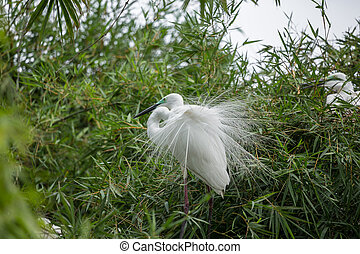 Great egret( Ardea alba) on bamboo tree of Thailand.