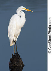 Great Egret (Ardea alba) perching on a stump with background of blue water.