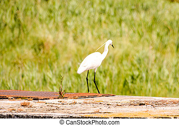 Photo picture of Great Egret Ardea alba bird near delta Po river