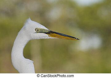 Great Egret, Ardea alba, portrait in breeding colors with...
