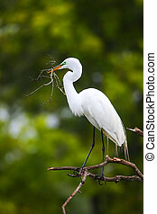 Great Egret (Ardea alba) sitting on a tree with sticks in...