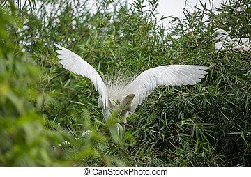 Great egret( Ardea alba)