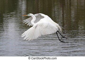 Great Egret (Ardea alba) flying over the Florida Everglades