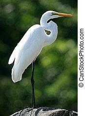 Great Egret at Lake Victoria - Uganda, Africa - Great Egret...