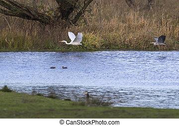 Great egret (Casmerodius alba)