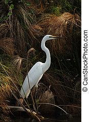 Great Egret (Casmerodius albus) in the Okavango Delta, Botswana.