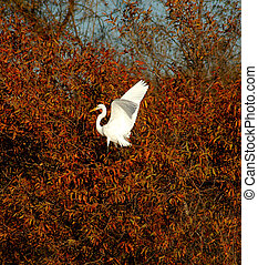 Great Egret (Casmerodius albus) landing in tree