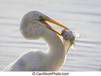 Great Egret Catching a Bass - Great Egret (Ardea alba) with ...
