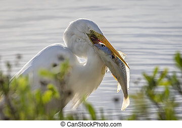 Great Egret Catching a Bass