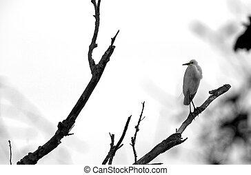 Great Egret Ding Darling Wildlife Refuge Sanibel Florida