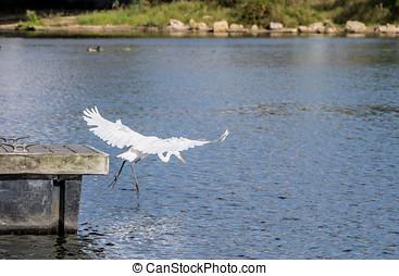 Great Egret Diving