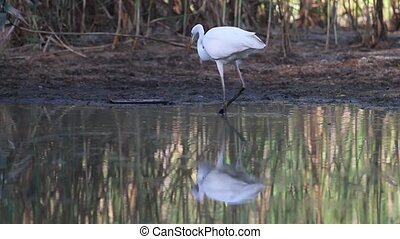 Great egret fishing in a swamp - egret fishing in a swamp