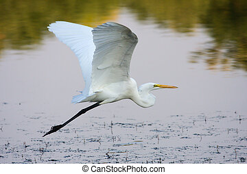 Great Egret Flying - Great Egret flying to a different ...