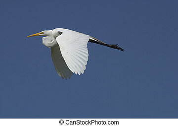 Great Egret flying - Great Egret in flight.