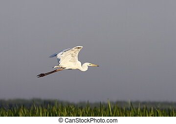 great egret flying over swamps