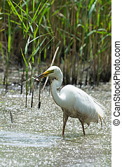 Great egret catching a little fish