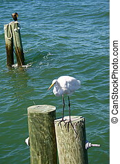 Great white egret perched on a pole looking for fishing on the Florida coast.