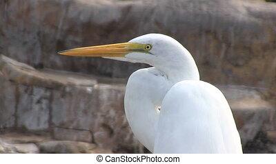 Great Egret Head - Close up of head of a Great Egret bird.