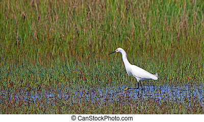 Great egret hunting in a shallow salt marsh