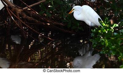 Great Egret hunting in mangroves - Great Egret, Ardea alba,...