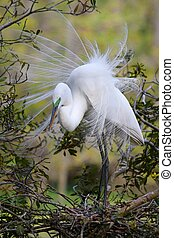 The Great White Egret grace in nature becomes apparent during mating season displays it plumage to attract females after he builds a nest as well. Often confused with the Snowy Egret, the Great White Egret lores turn lime green during breeding season. The Great White Egret is the largest with a ...