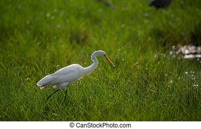 Great Egret in a green field