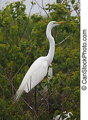 Great Egret (Ardea alba) in Breeding Plumage Perched in a Texas Rookery