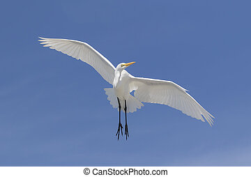 Great Egret in Flight - Florida