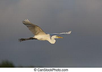 Great Egret in Flight - High Island, Texas