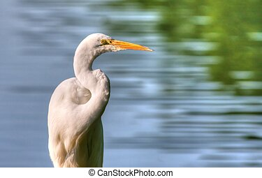Great Egret in High Dynamic Range - Great Egret fishing in...