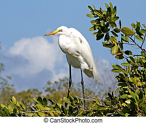 Great Egret in Mangrove Tree - Great Egret (Ardea alba) in...