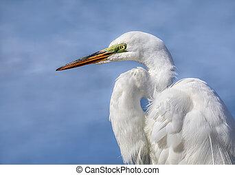 Great Egret In Profile