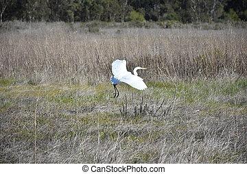 Great Egret Landing in a Grass Field