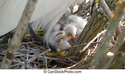Great Egret nest with young chicks.