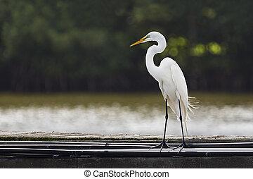 Great Egret on Pier