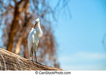 Great egret or Ardea alba sits on log near lake Naivasha,...
