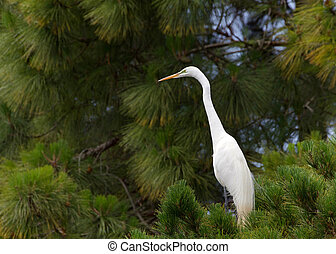 Great egret perched in a pine tree