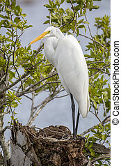 Great Egret Perched on a Stump - Florida