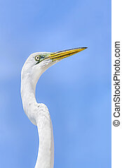 Great Egret Profile - A great egret is photographed against...