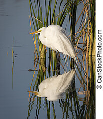 Great Egret Reflected in a Florida Wetland