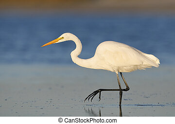 Great Egret stalking a fish in a shallow lagoon - Pinellas County, Florida