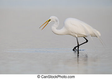 Great Egret stalking a fish - Pinellas County, Florida