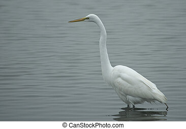 Great Egret Standing in a Pond