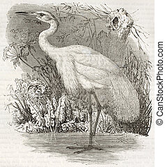 Great Egret old illustration (Ardea alba). Created by...
