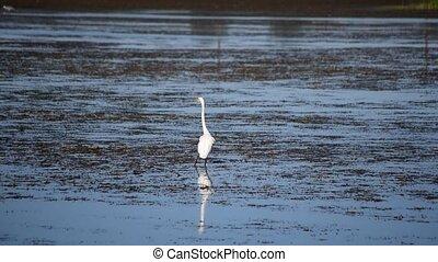 Great egret striding across wetlands in summer