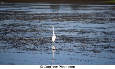 Great egret striding across wetlands in summer