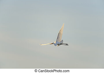 Great Egret wing high