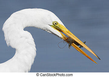 Great Egret with a crawfish in its beak- Pinellas County, Florida